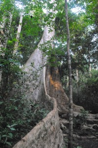 The amazing 600 year old tree