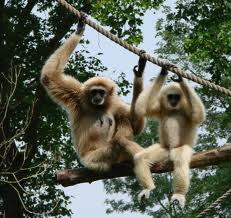 Female gibbons. Image from Wikipedia as my camera is not that good.